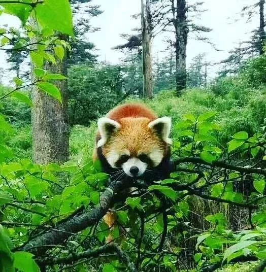 我是只可爱的小熊猫 长介个样子 瓦屋山小松鼠,算是景区常见的动物