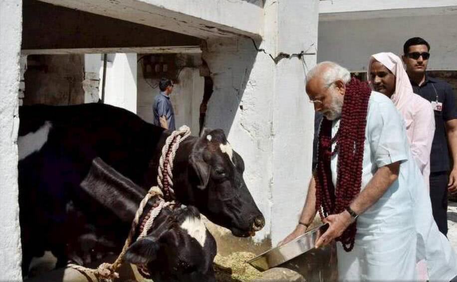 """印度总理莫迪连任之路会被""""一头牛""""绊住吗"""