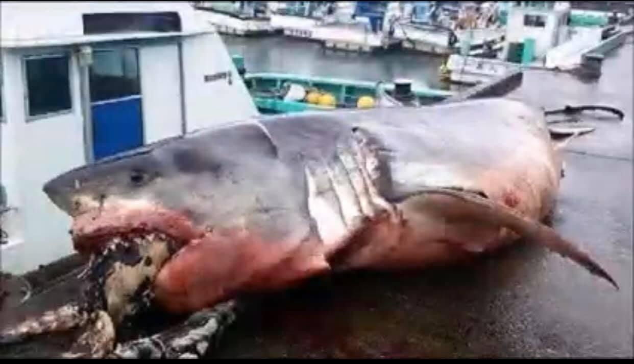 凯里新闻:日本外海发现2000公斤巨型大白鲨惨遭海