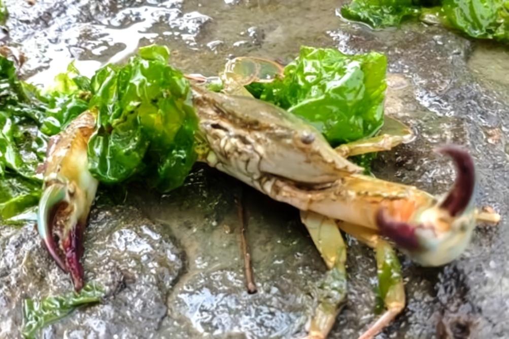 小张赶海鱼虾蟹全收,肉质肥嫩的螃蟹竟如此凶猛,激动坏了!