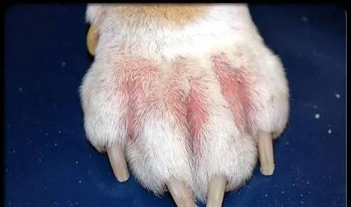 皮肤病大全_狗狗皮肤病的症状大全,狗狗皮肤病的识别图片