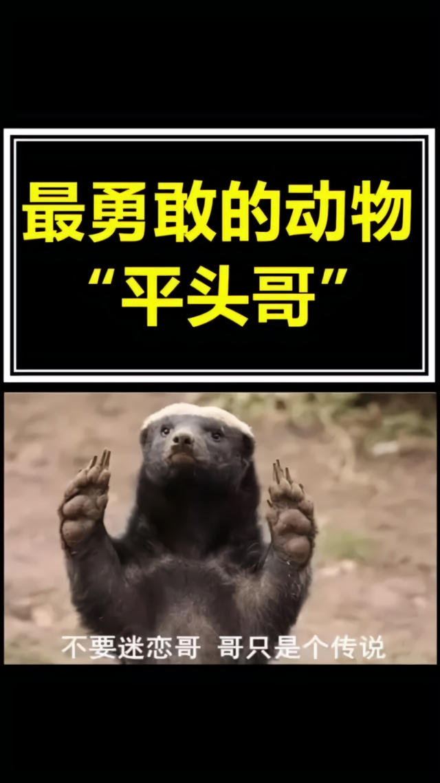 冷知识 #动物 #霸气 一个霸气外漏的动物.平头哥,你们知道它吗?