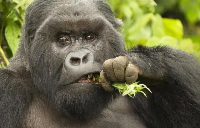 非洲一种身强体壮的动物,是人类的近亲,平头哥也不敢随便惹!