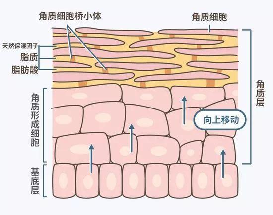 在这些像砖瓦一样排列的细胞中间,是细胞间的脂质,而