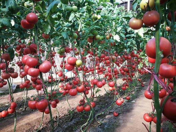 圣帝高产抗病番茄种子 春秋越冬西红柿