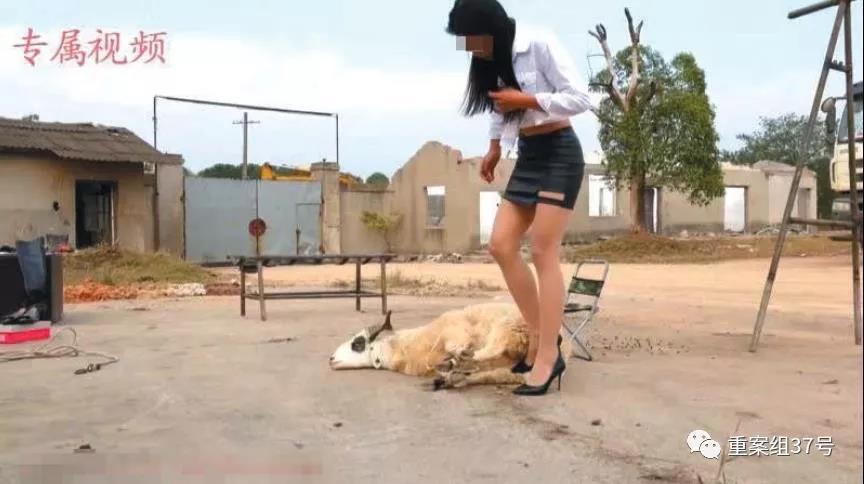 社会  一段虐杀动物视频中,一名女子将一只羊捆绑,随后将其杀死.