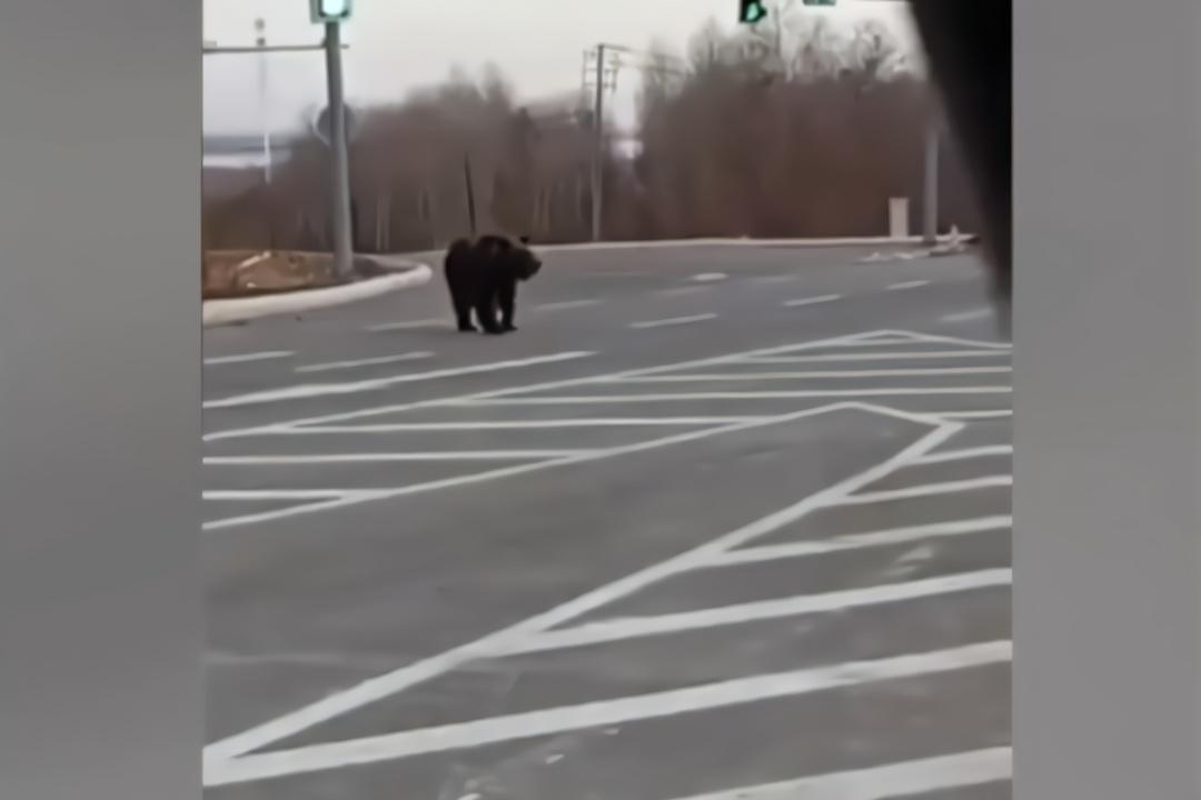 """公路上演""""熊出没"""" 大黑熊闹市""""横行霸道""""吓坏司机"""