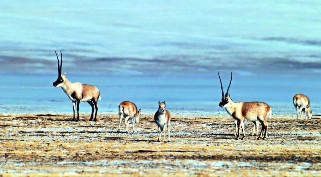当地物种:藏羚羊.图源:西藏林业信息网