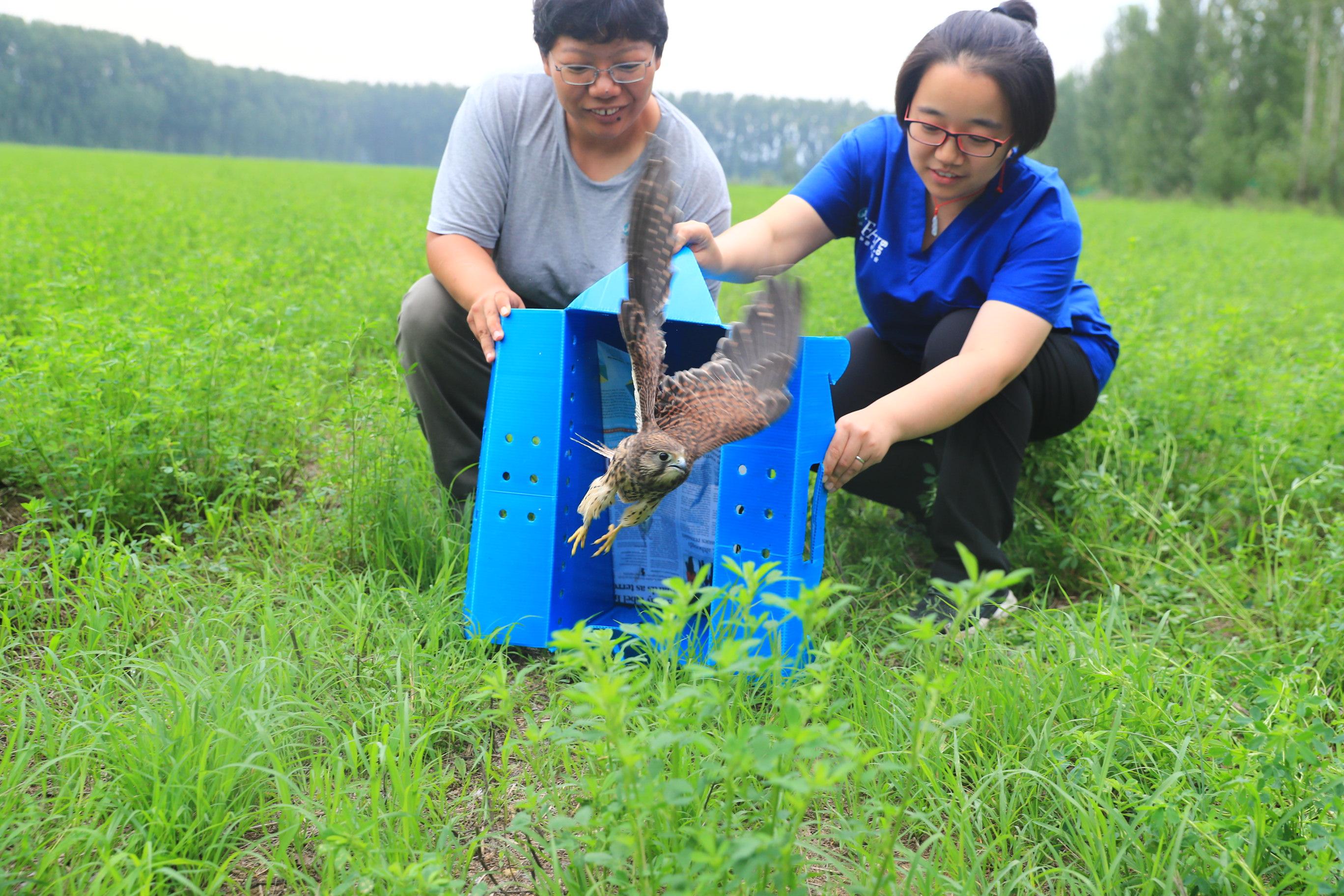 北京猛禽救助中心放飞康复黑翅鸢和红隼