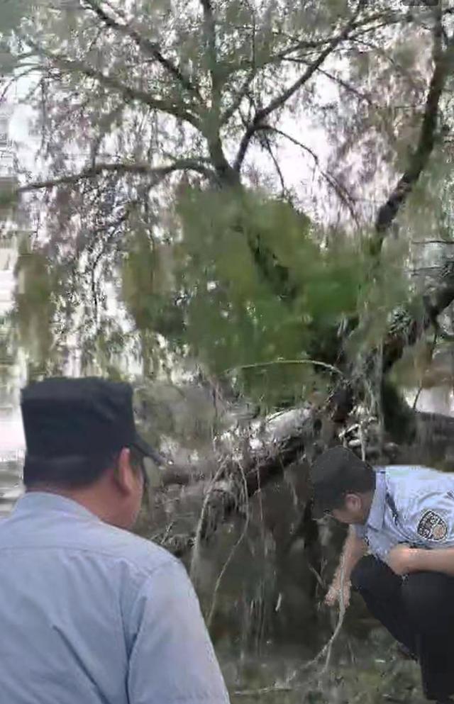 牌楼城管暴风雨后清理小区被雷电击倒的树木,保障小区道路畅通