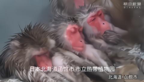 又到日本猴子泡温泉的季节,来围观下北海道猕猴群的泡汤时间吧!