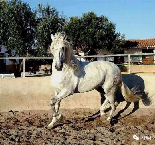 """世界上很多漂亮健美的马都是阿拉伯马,可以说阿拉伯马是盛产""""马中图片"""