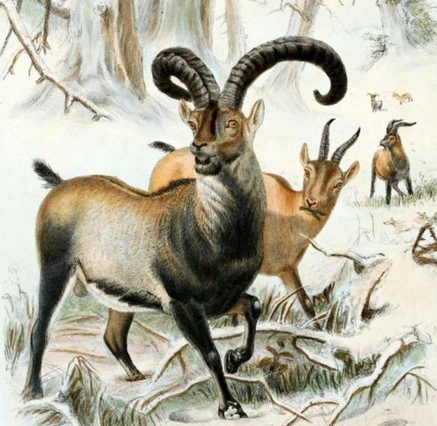 比利牛斯野山羊:生活在法国南部比利牛斯山的高海拔地区。于2000年1月灭绝。科学家尝试复制名叫西莉雅的最后一只比利牛斯野山羊,但小羊出生后很快就死了。文章到这里就结束了!对于这件事,你想说些什么?欢迎在留言区评论,更多文章请关注小编,小编会为大家带来更多优质文章。