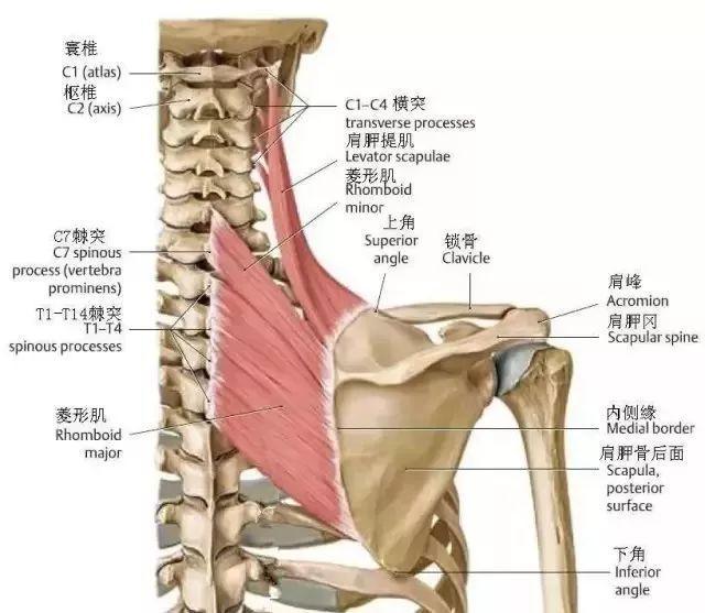 陈妍希脖子上破土而出的斜方肌怎么了?还有这肩胛骨看着都疼啊,张宝胜败走麦城记