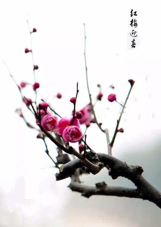 有梅字的梅花风景头像
