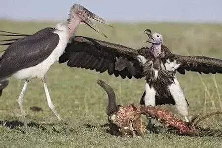 动物科普:食腐不中毒 秃鹫有诀窍