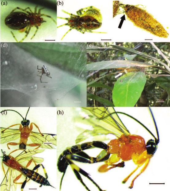 """科学家发现一种会将蜘蛛""""僵尸化""""的新黄蜂物种"""