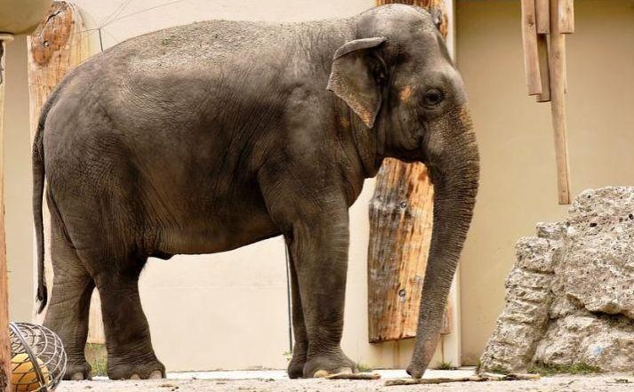 世界最悲伤的大象去世,曾被囚禁40多年