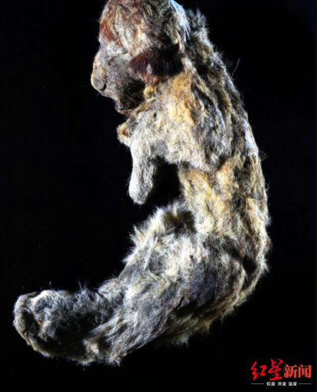 就像睡着了一样 西伯利亚发现3万年前穴狮宝宝遗体