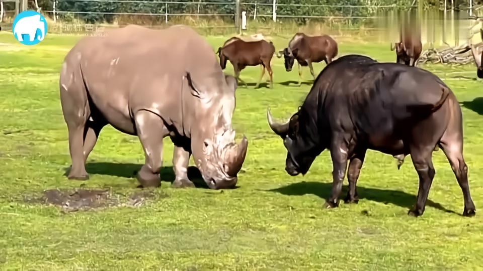 动物们的分娩方式千奇百怪,水牛更是厉害,镜头记录全