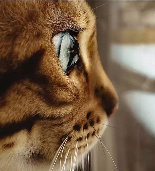 猫咪进行眼部清理方法 处理猫咪泪水,可直接用棉花团擦拭。而对于已经干结的眼垢,不能用干棉花团或棉签,因为这样很容易将棉絮沾在眼睑内。可用蘸水的棉花团轻轻擦拭,如果分泌物过多较难擦,可采用硼酸溶液进行清洗。硼酸溶液一般在医院或药店有售,也可以自制。制作方法是:将大约2克硼酸粉溶解在100克的温水中,即可配成2%硼酸溶液。