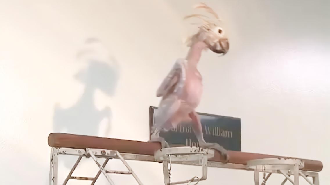 撸流人_鹦鹉的毛都被扒光了,还站在杆子上叫嚣:都被撸秃了,还