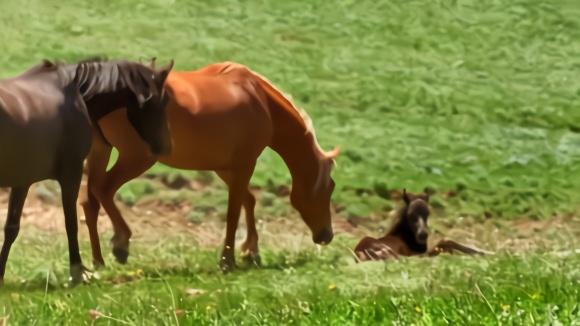动物世界的残酷!小野马后腿无法站立,野马爸爸无奈亲手杀死孩子