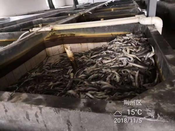 荆州中华鲟死亡36条:芈月桥一直施工却上报称停工
