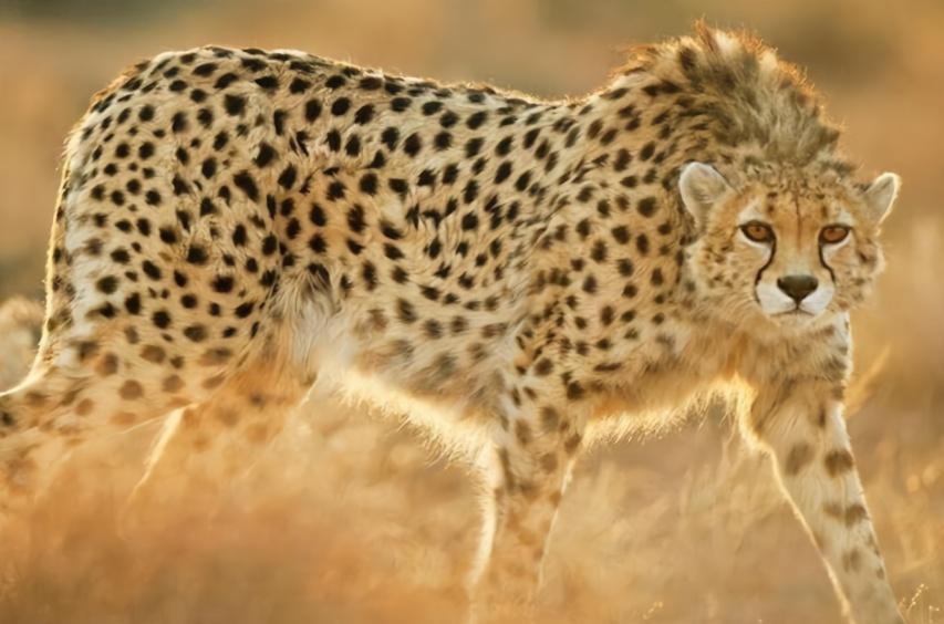 动物世界:年轻猎豹戏斗薮猫和豺狗