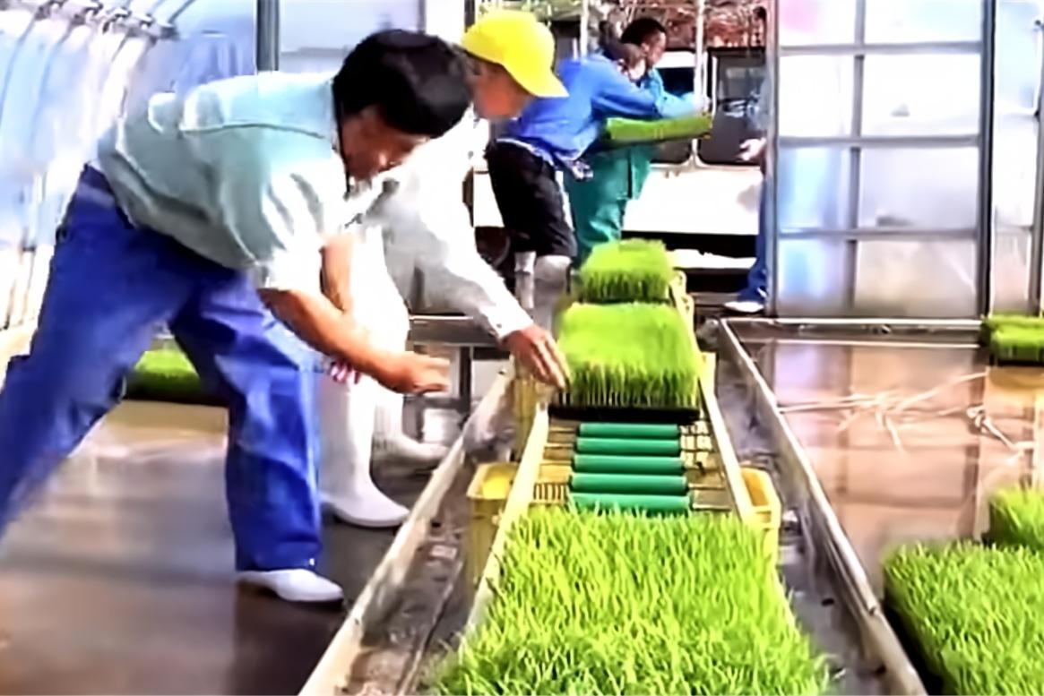 实拍日本培育水稻苗真干净,网友;就是在东北这样干得赔死!