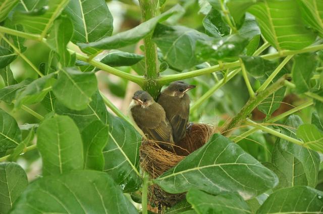 为什么鸟在树上睡觉时不会掉下来?
