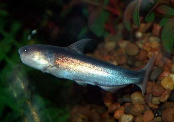 亚马逊食腐小鱼,专啃猎物肚子,恶心程度直逼鬣狗