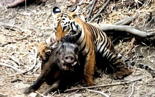 老虎伏击暴杀野猪,一口就咬断了颈椎,镜头记录全过程