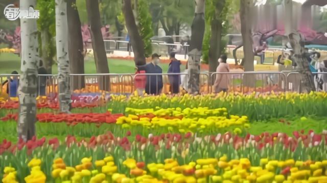 绝美的风景!植物园40万郁金香进入最佳观赏期