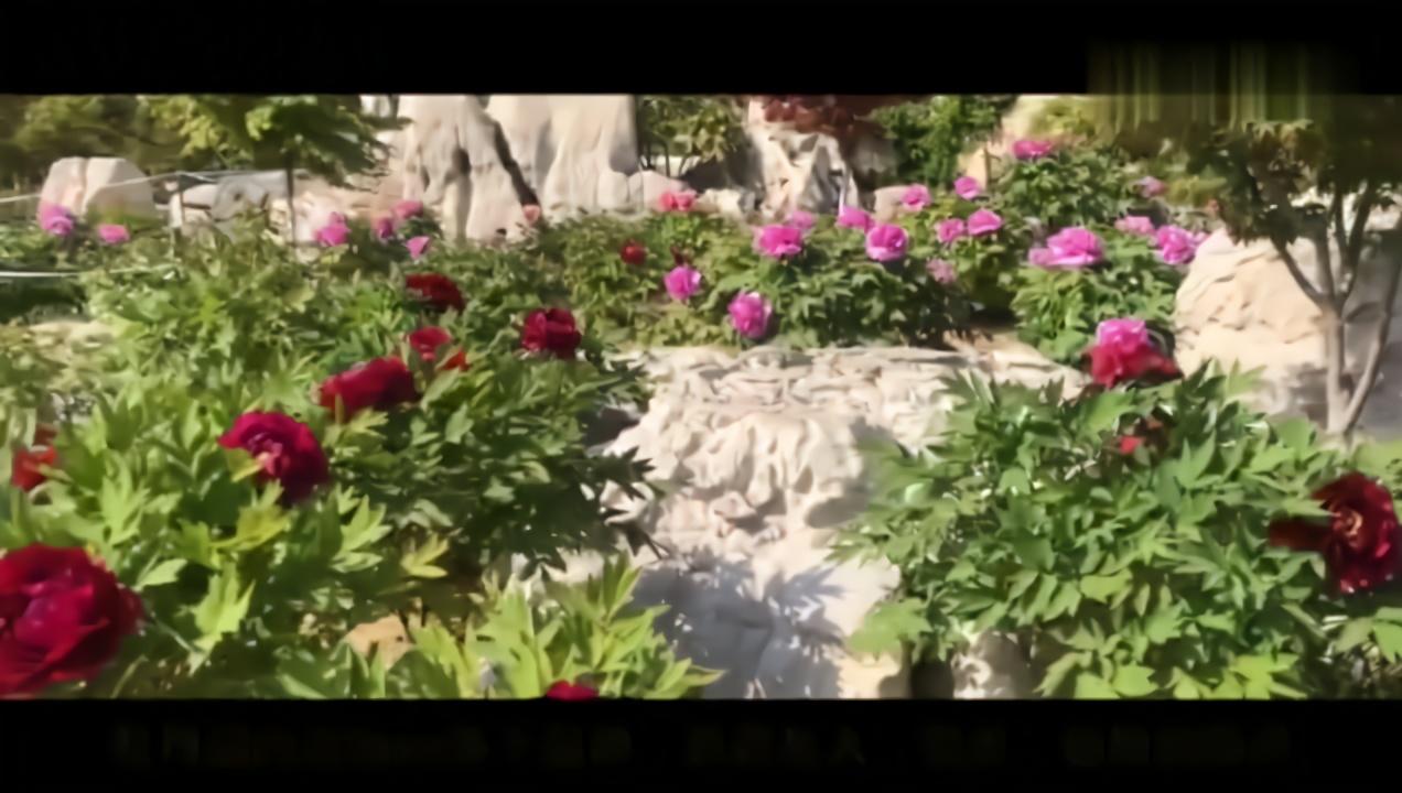 春暖花开 垦利植物园的牡丹花悄然绽放
